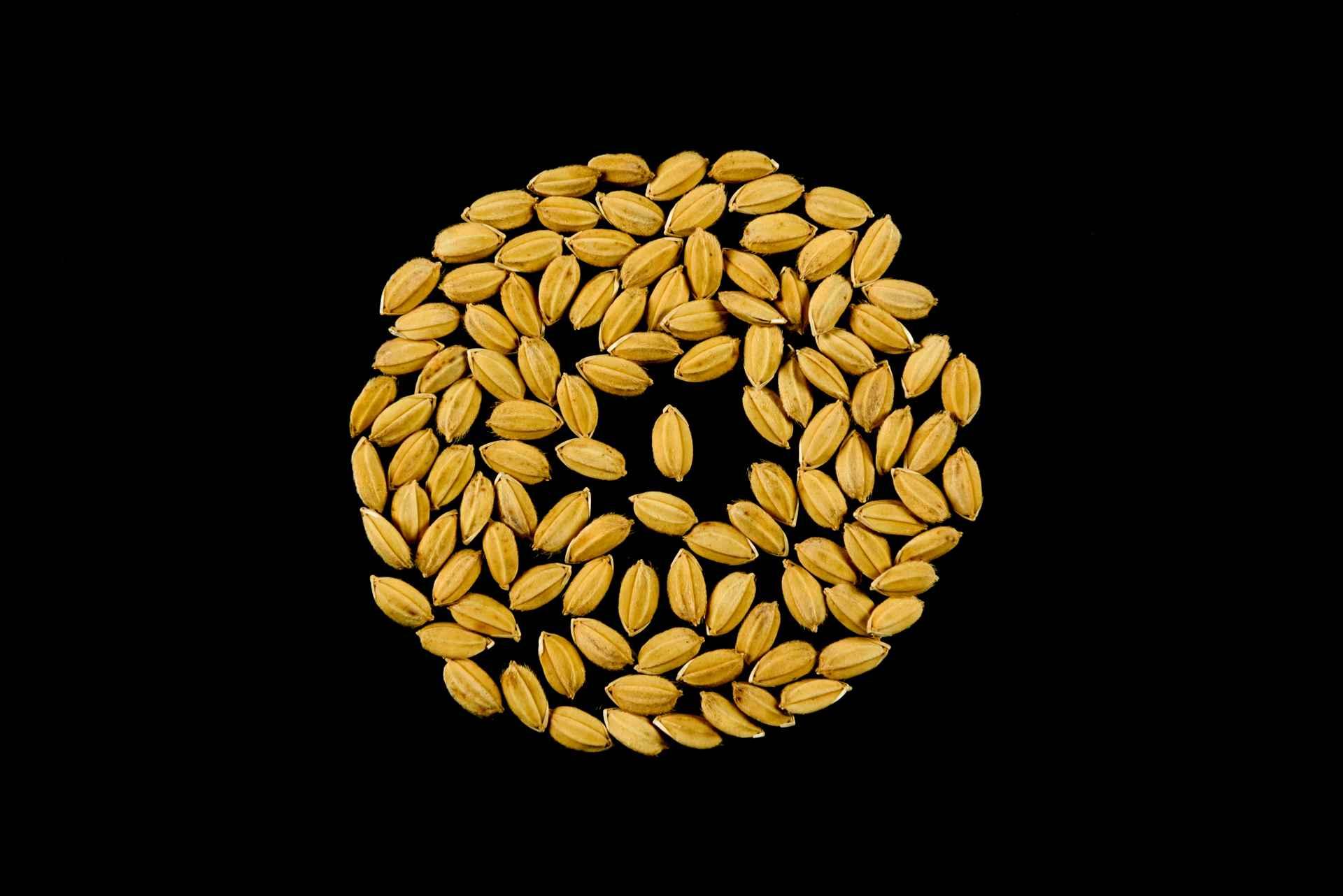 sementi di riso balilla risone