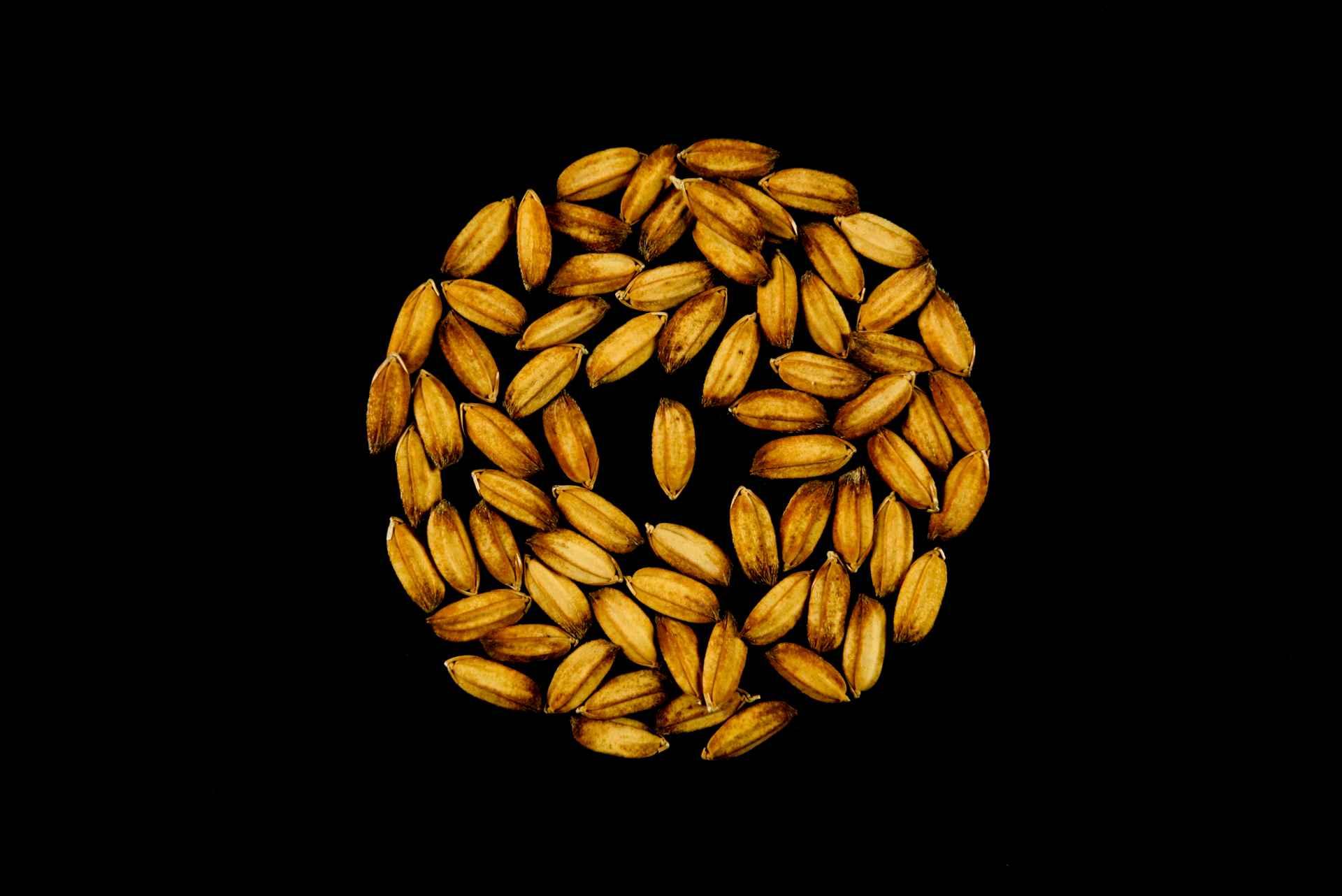 seme di riso carnise risone