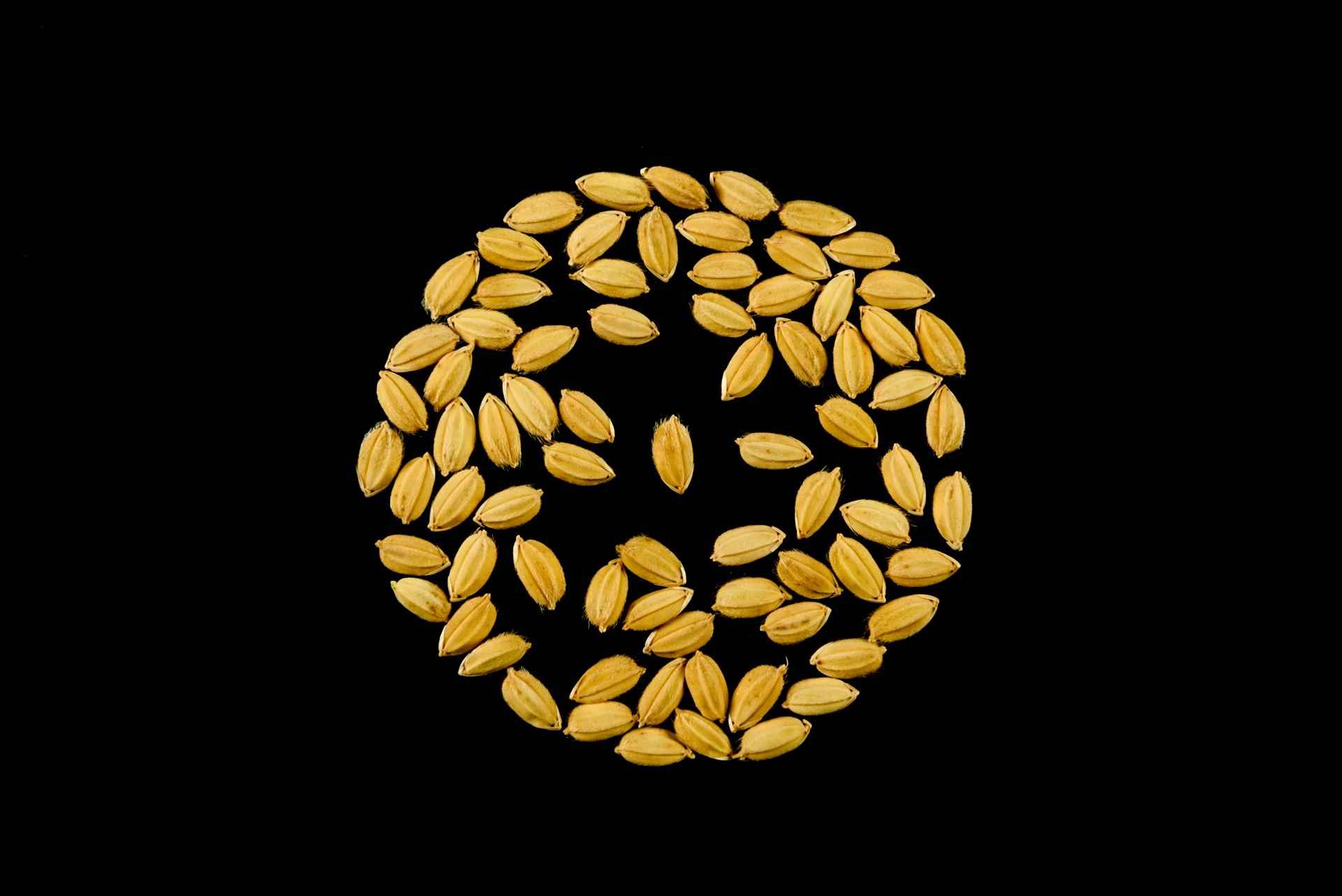 seme di riso cerere risone