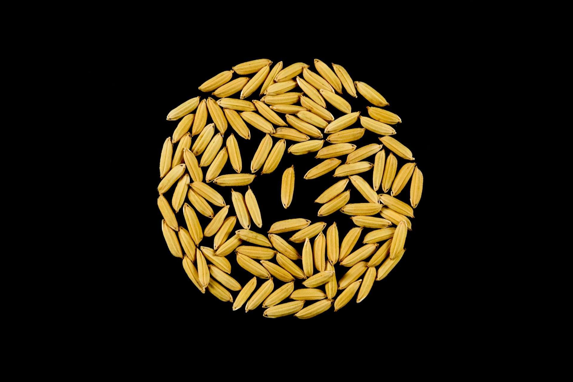 seme di riso ecco 63 risone