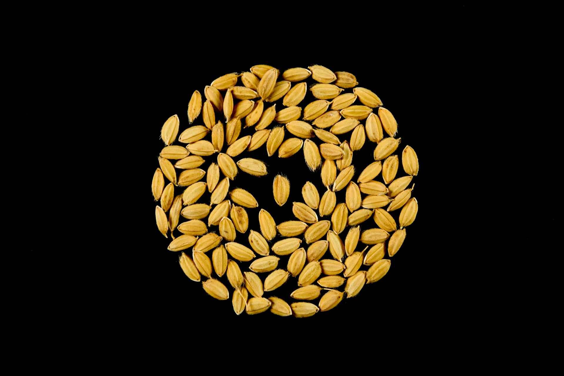 seme di riso sole cl risone