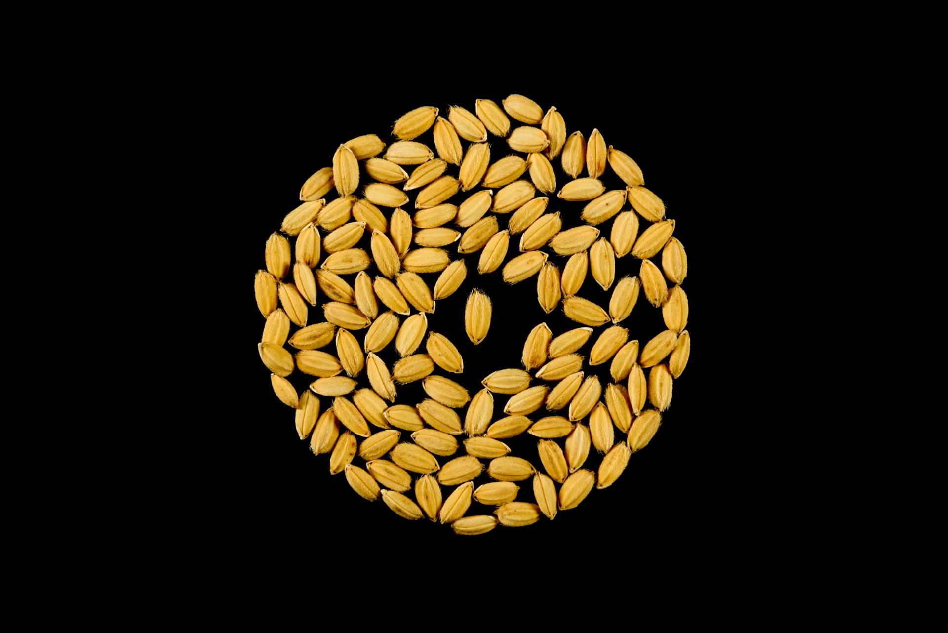 seme di riso terra cl risone