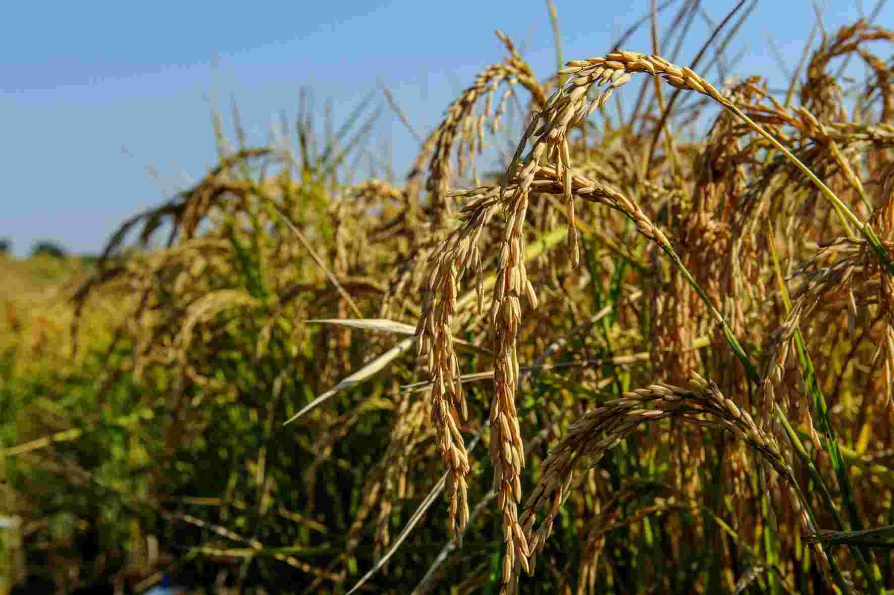 seme riso apollo dettaglio