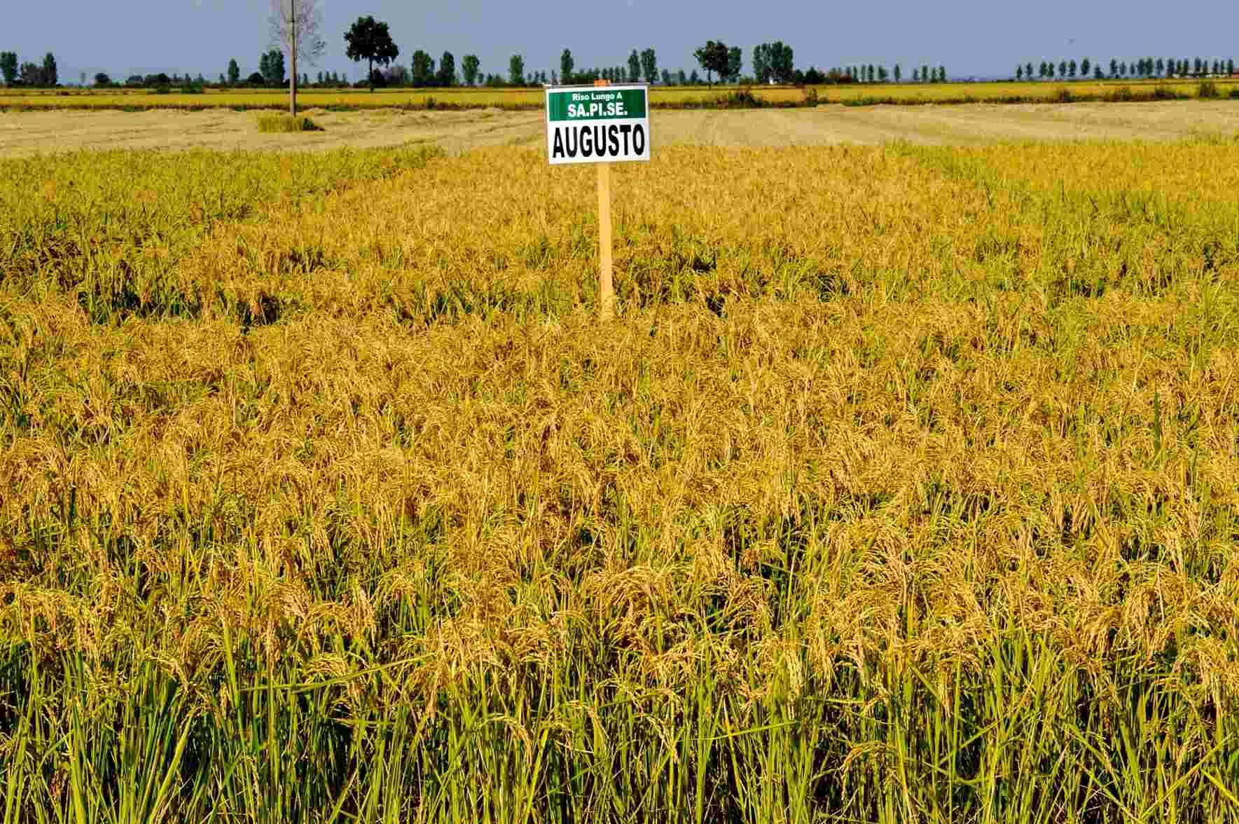 seme riso augusto campo coltivazione