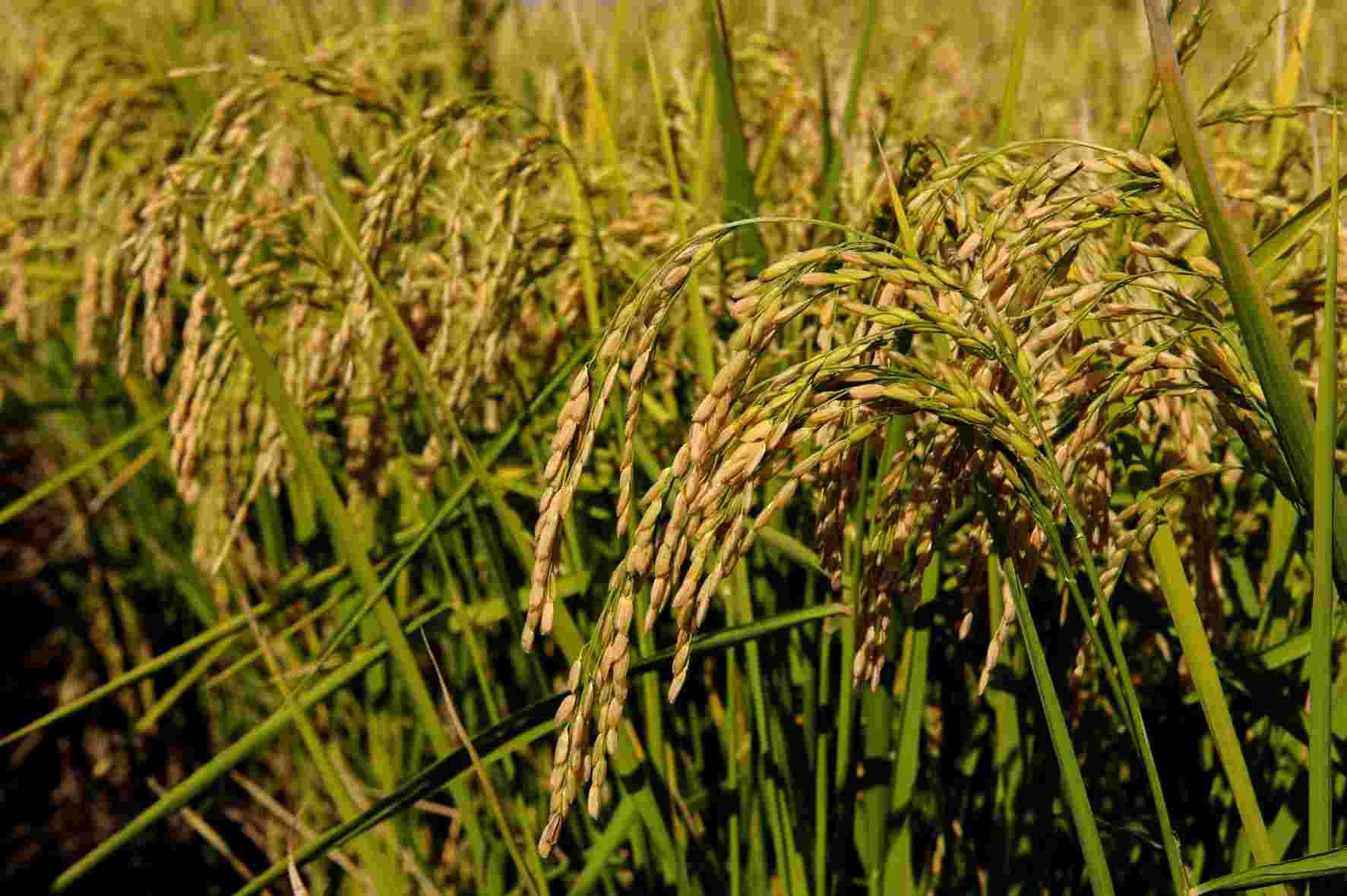 seme riso augusto dettaglio grano