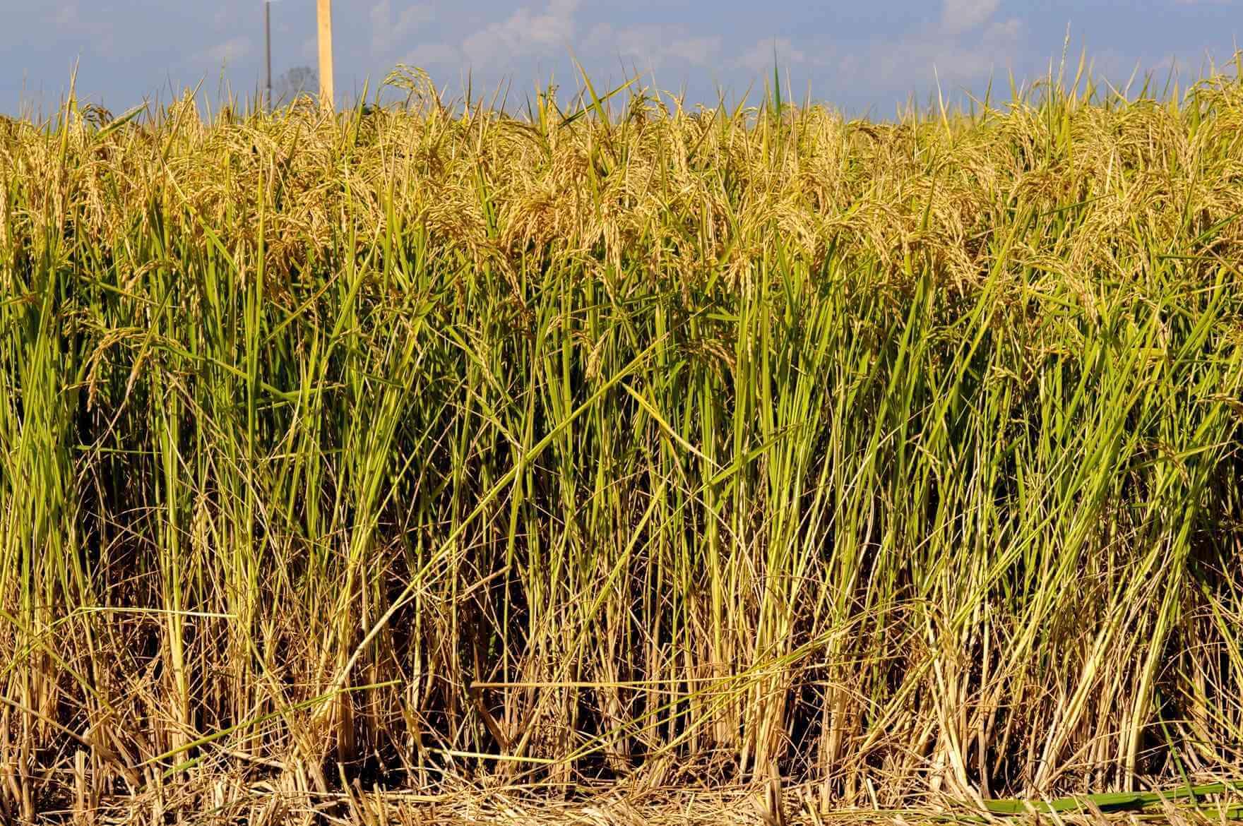 seme riso augusto spighe coltivazione