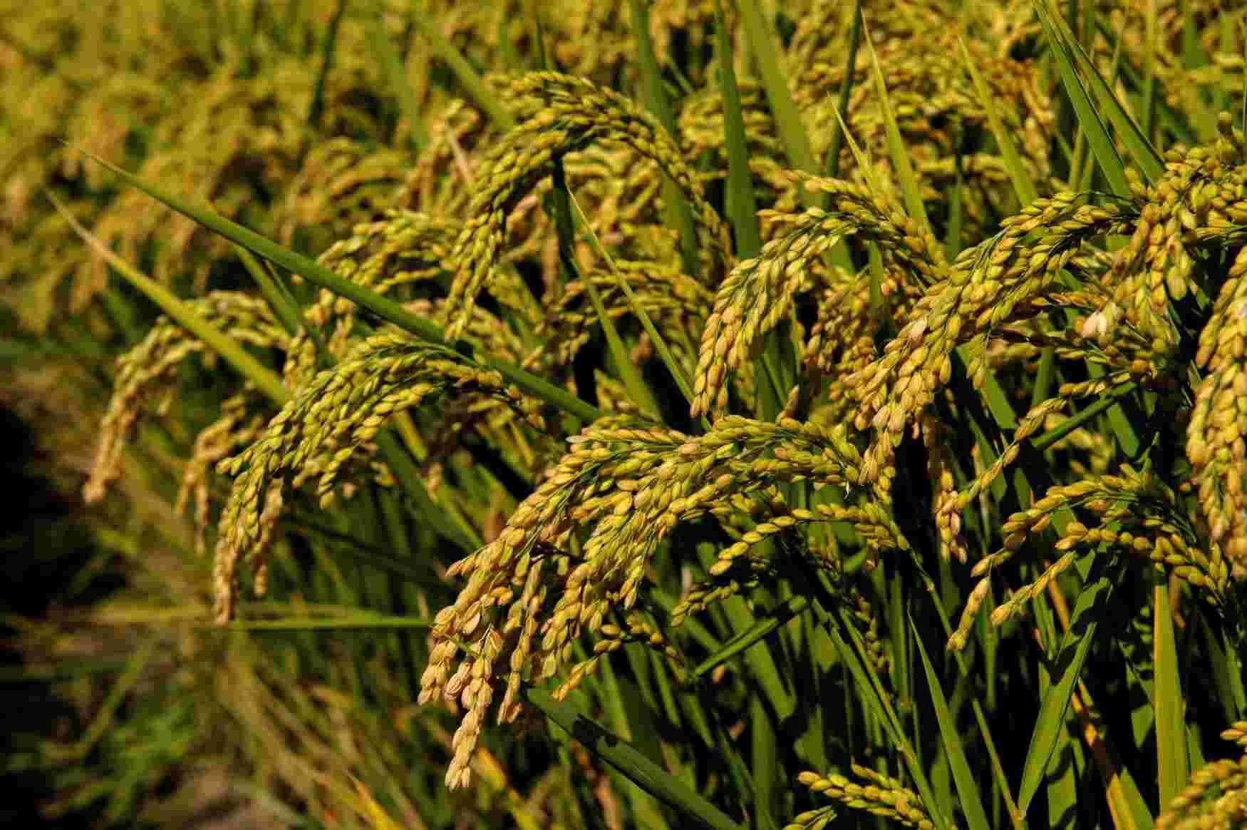 sementi riso balilla coltivazione