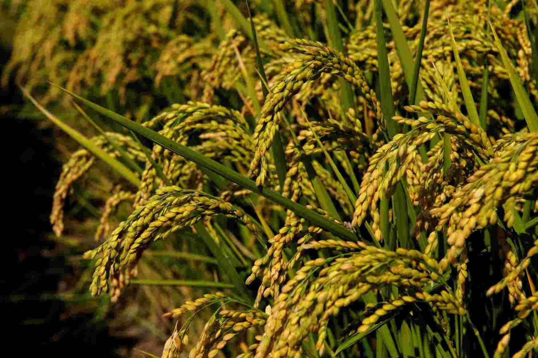 sementi riso balilla dettagli grano