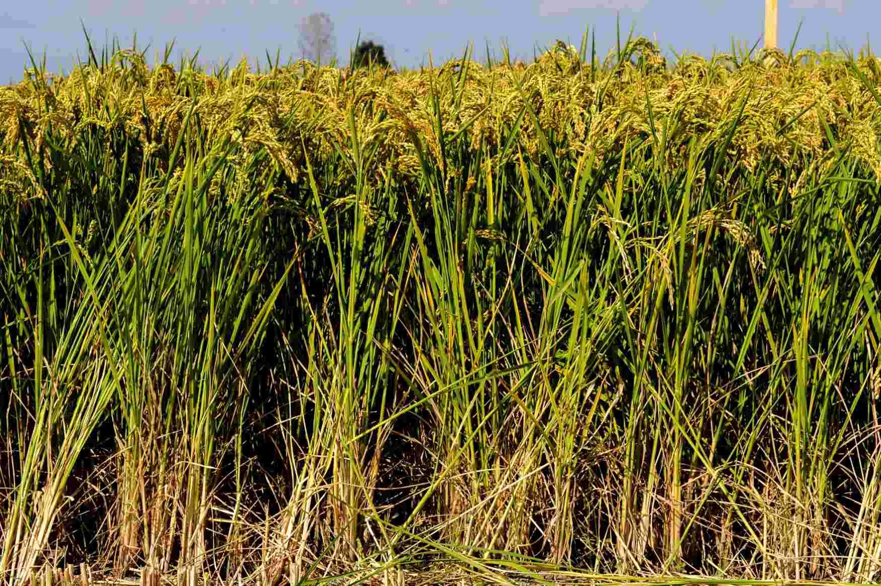 sementi riso balilla spiga alta