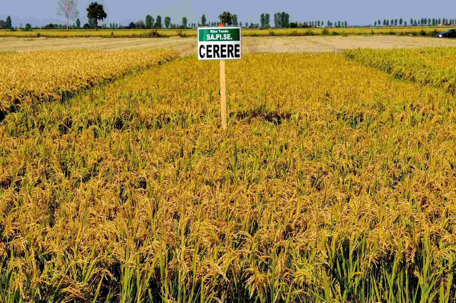 sementi riso cerere campo coltivazione