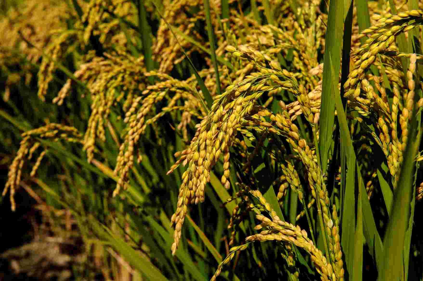 sementi riso cerere coltivazione spighe
