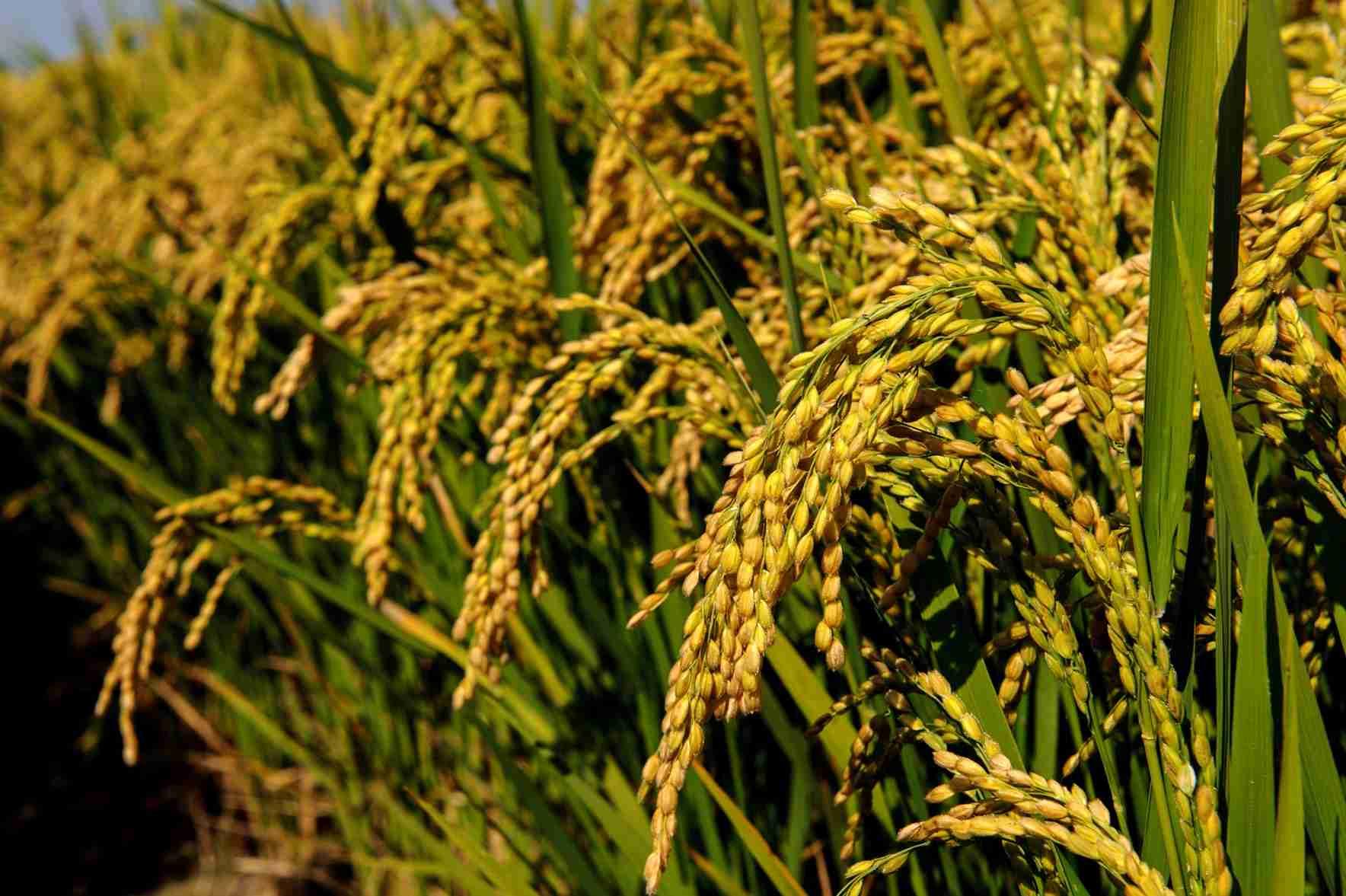 sementi riso cerere dettaglio grano