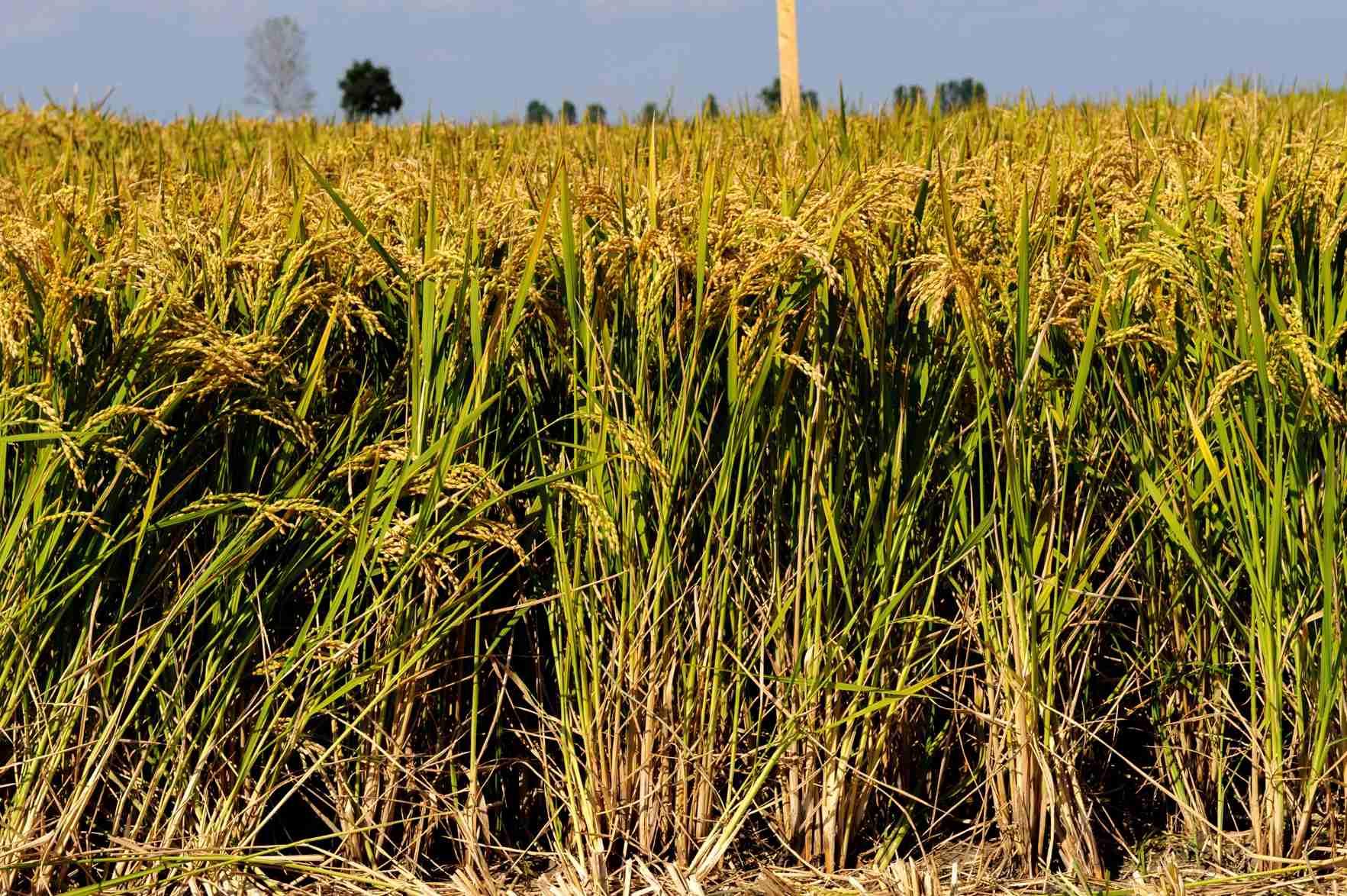 sementi riso cerere spiga