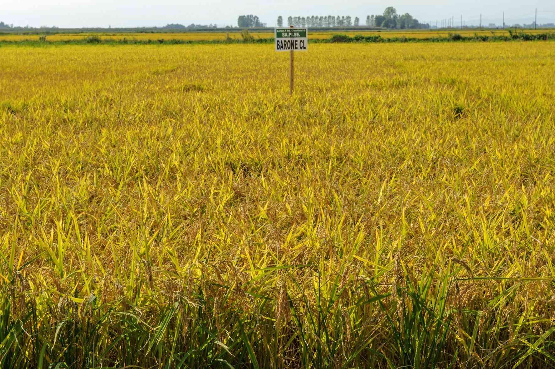 sementi-riso barone cl campo coltivazione