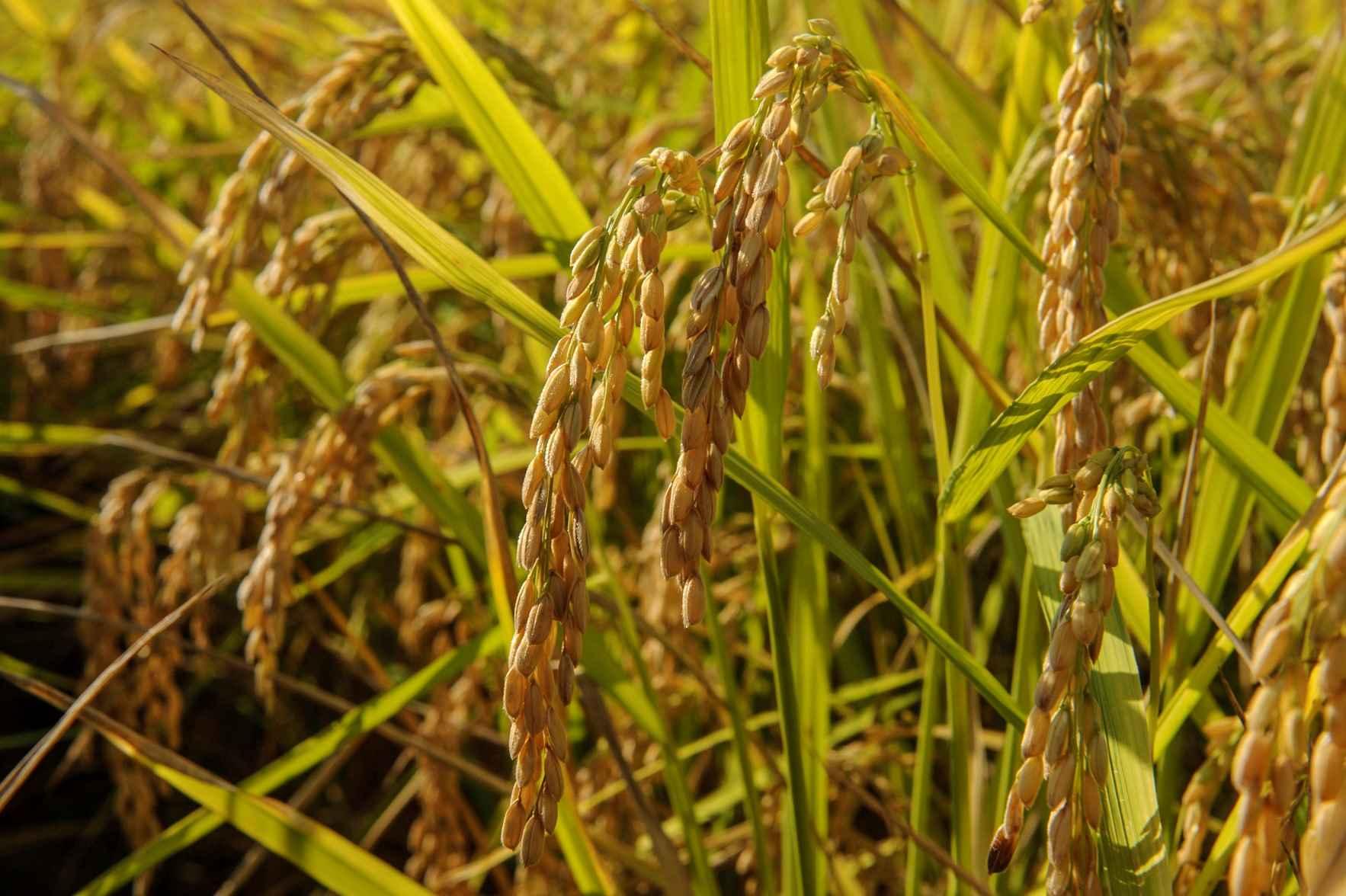 sementi riso barone cl coltivazione spighe