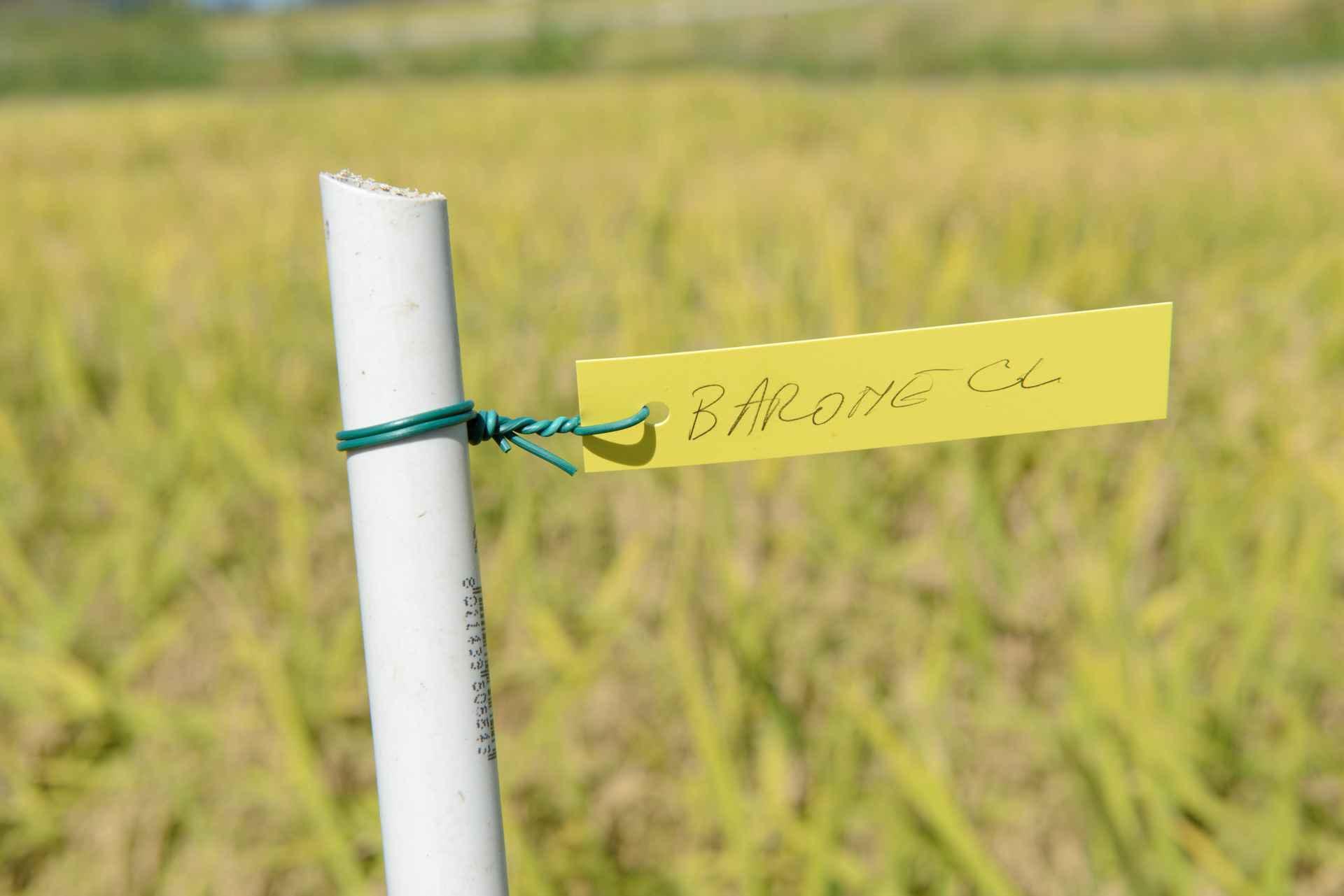 sementi riso barone cl dove viene coltivato