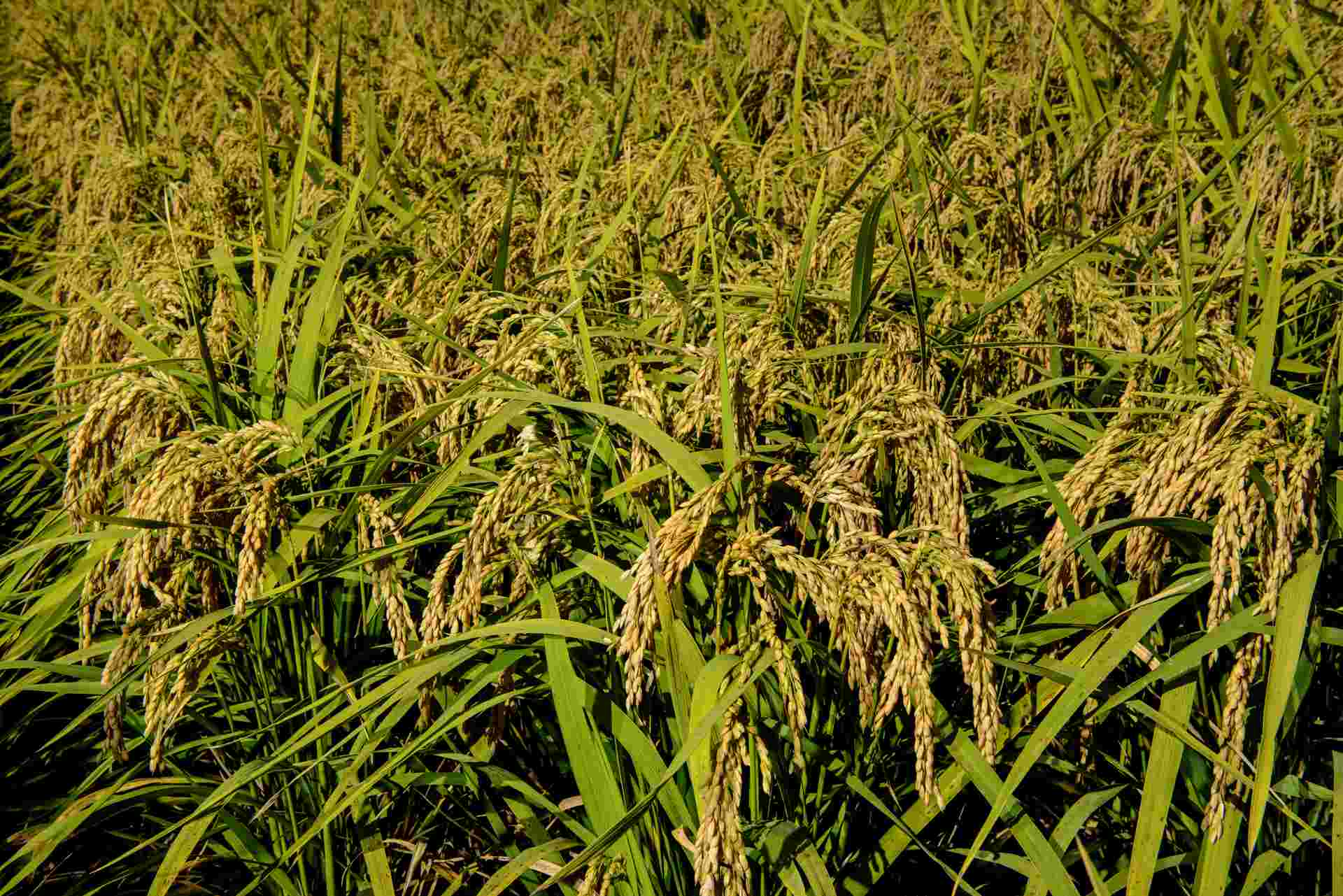 sementi riso barone cl spighe campo