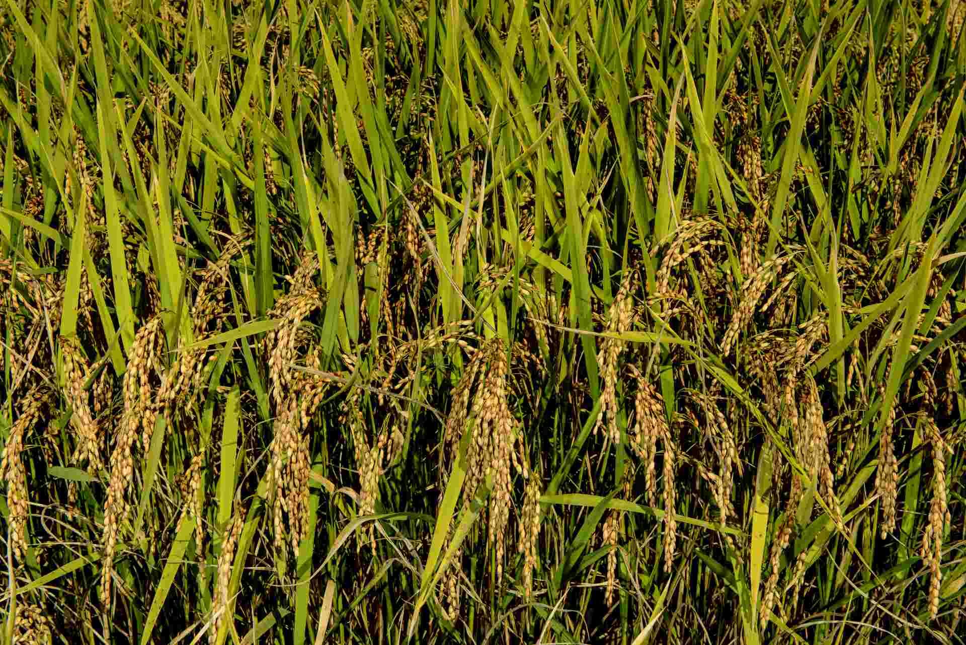 sementi riso carnise campo coltivazione