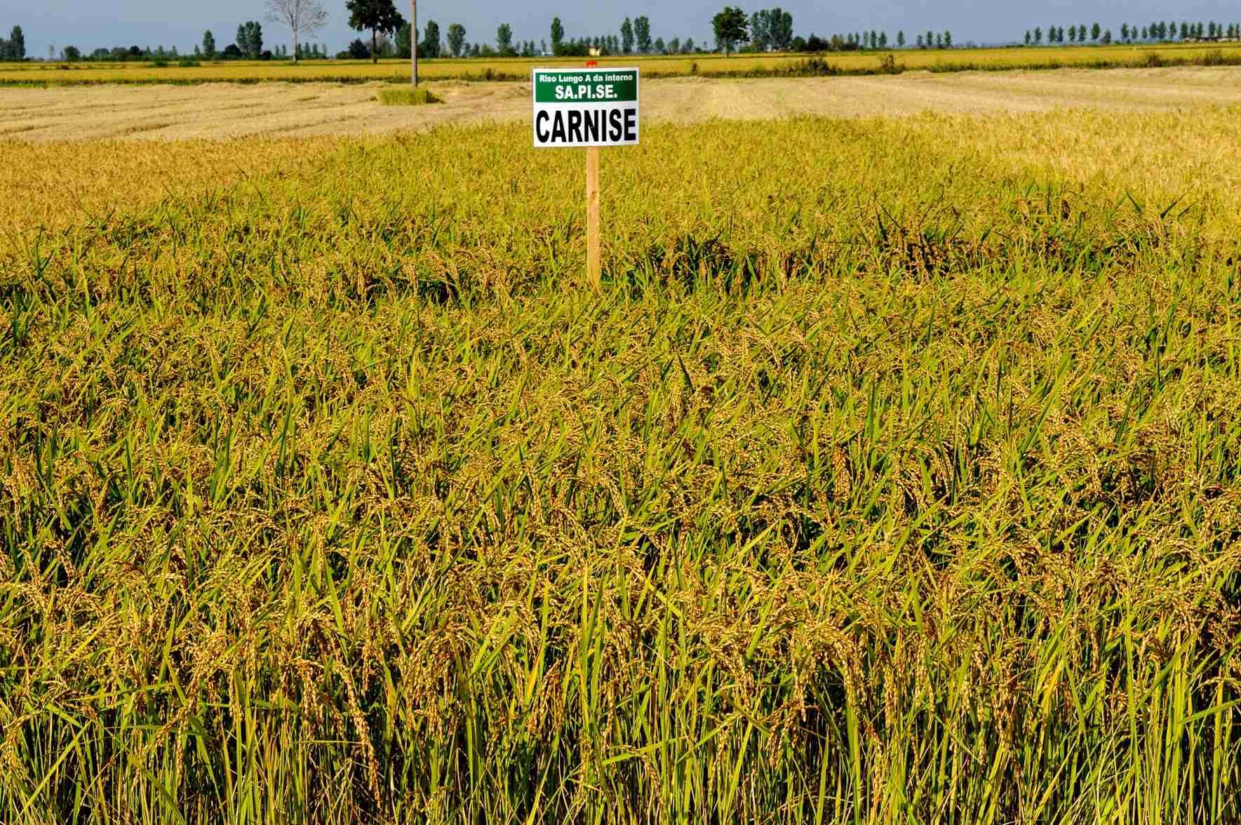 sementi riso carnise dove viene coltivato