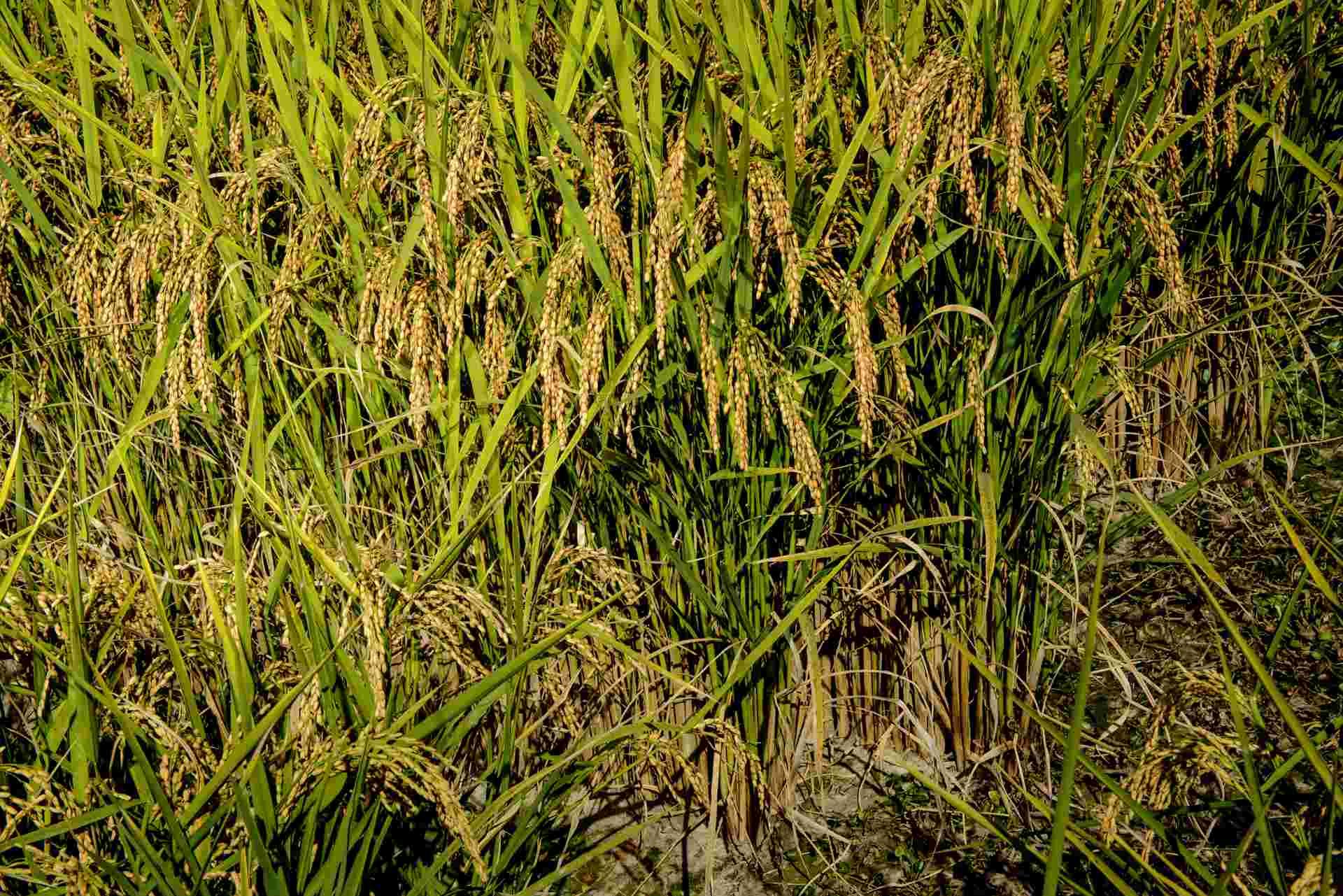sementi riso carnise semina