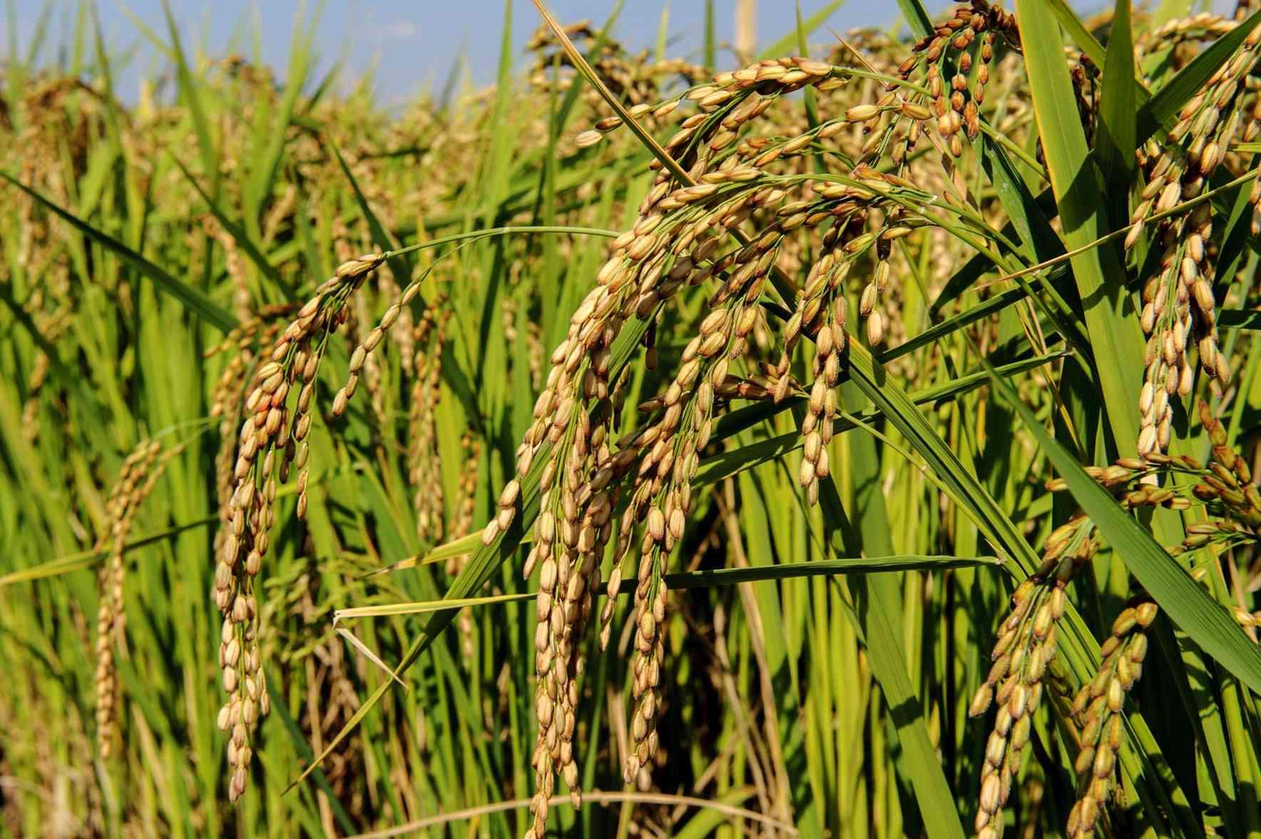 sementi riso carnise spiga