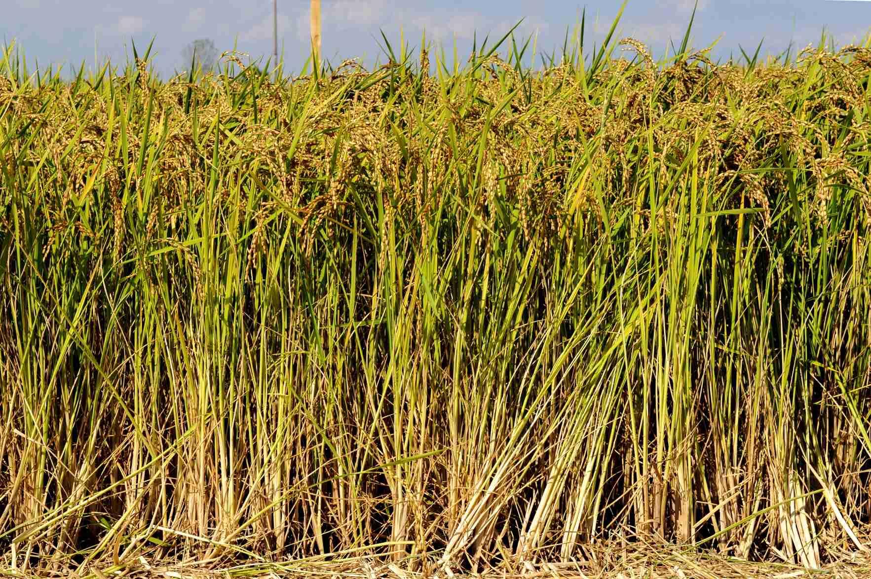 sementi riso carnise spighe campo