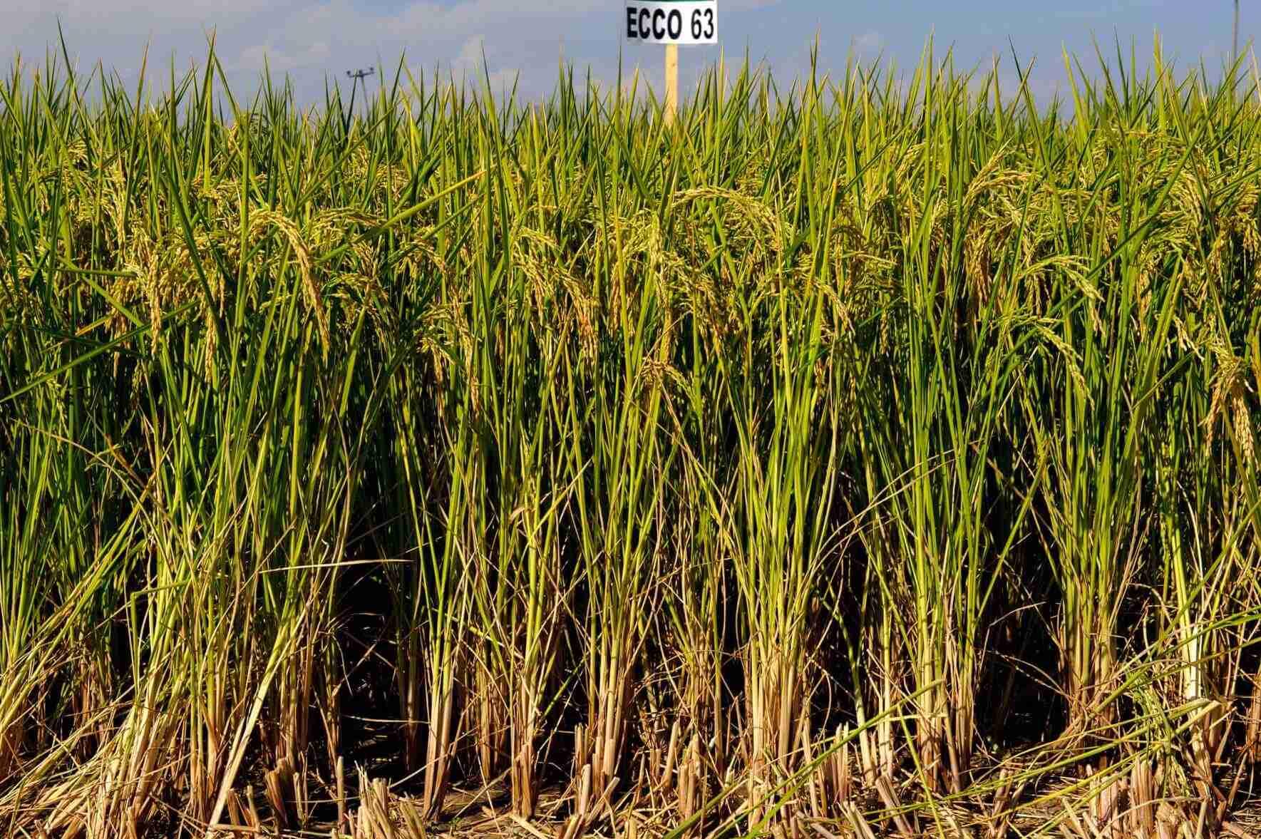 sementi riso ecco 63 coltivazione spighe