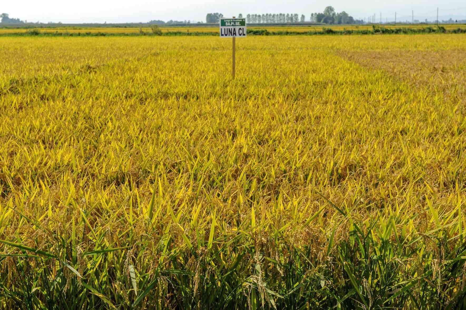 sementi riso luna cl coltivazione spighe