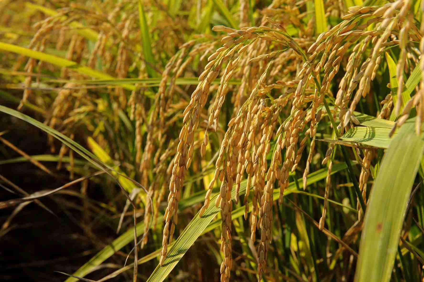 sementi riso luna cl dettaglio spiga