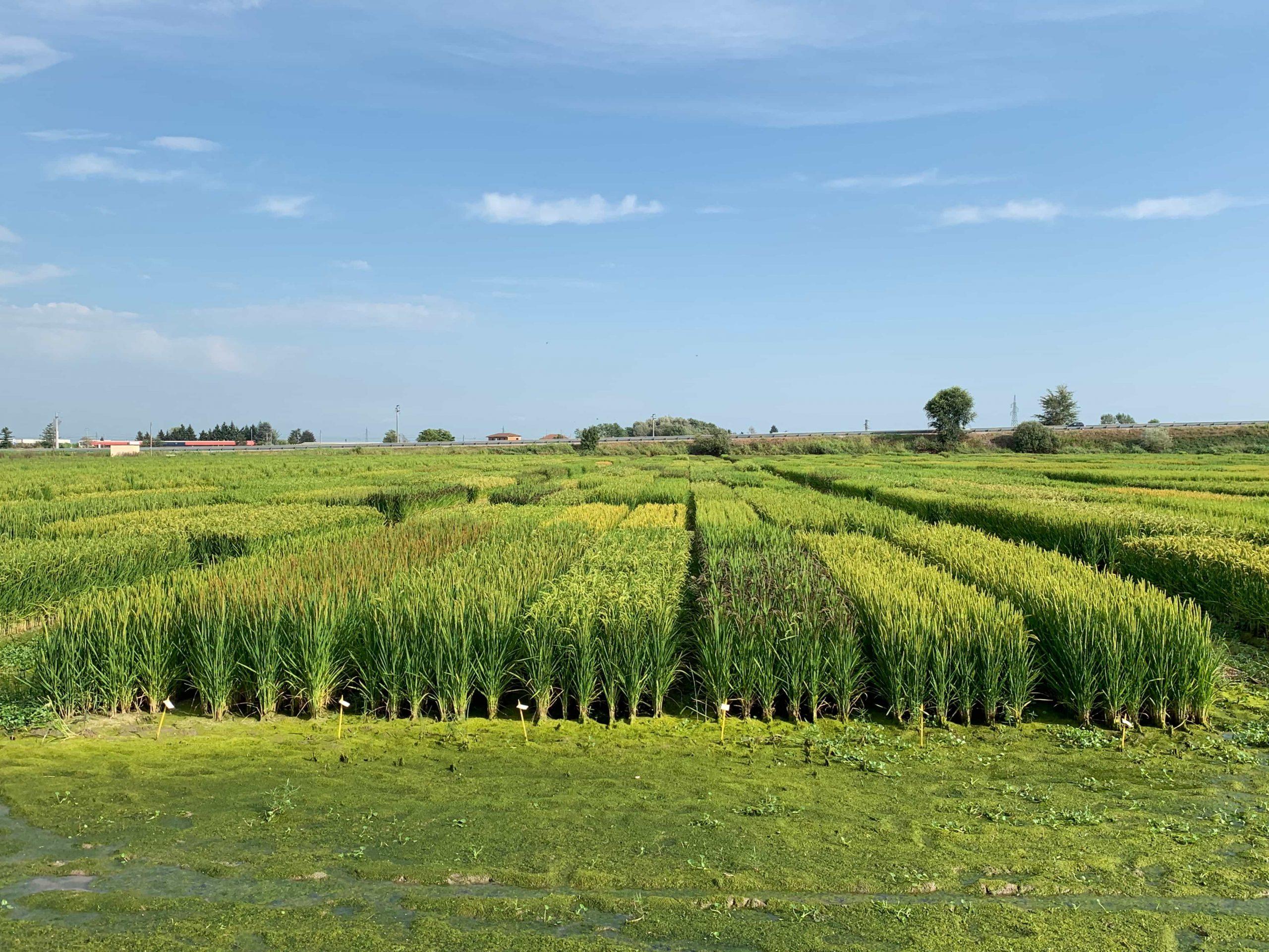 Periodo di semina e varietà di riso.
