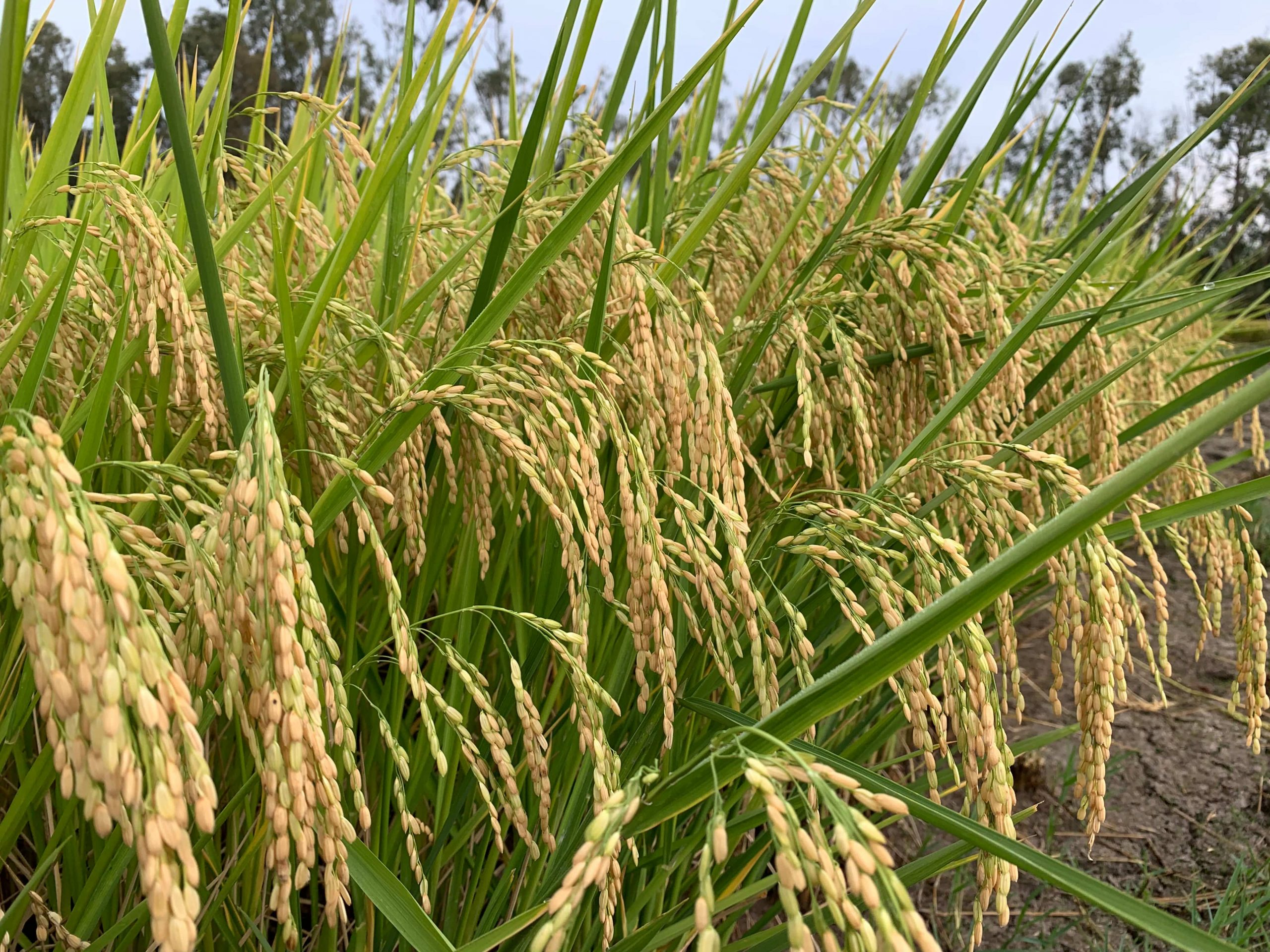 Ciclo di vita del riso: le informazioni più importanti che ogni risicoltore deve conoscere